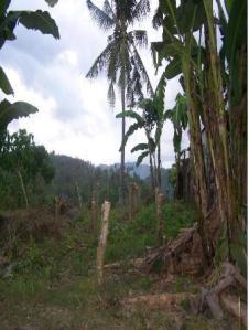 mountain lot minglanilla, palm trees,banana plants